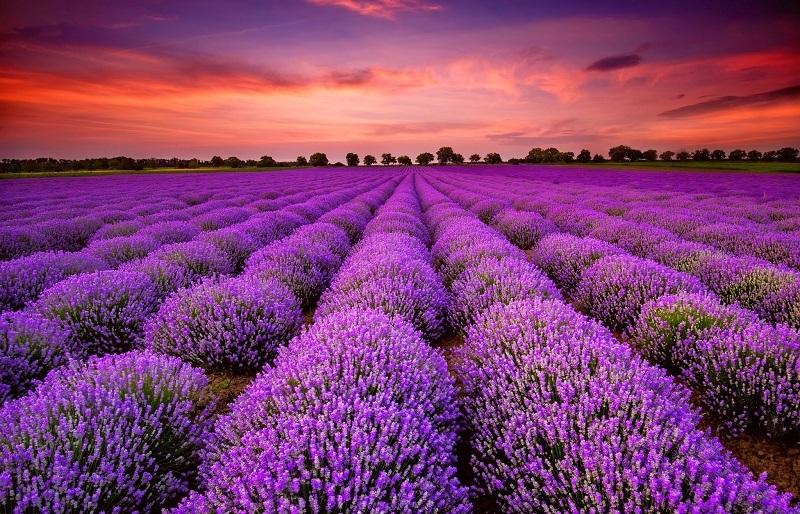 28-Яркие краски лавандового поля в Провансе, Франция.jpg
