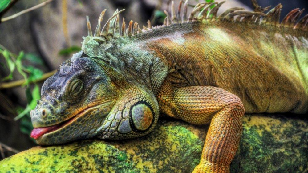 iguana_bolshaya_reptiliya_derevo_40091_1366x768.jpg