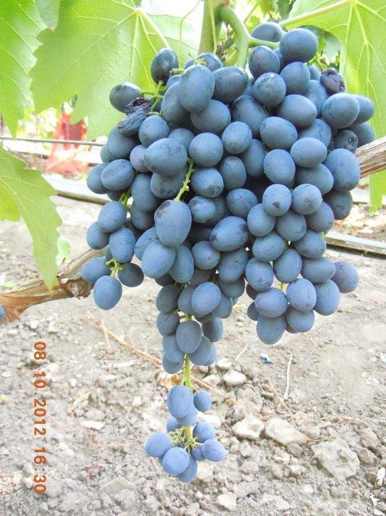 Аленушка, типичная гроздь.jpg